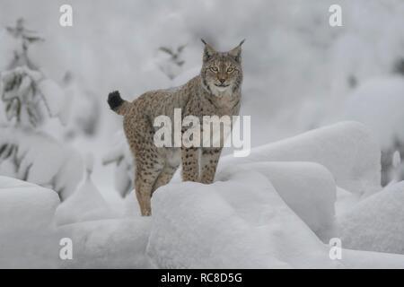 Eurasian lynx (Lynx lynx), male, standing in a snowy forest, captive, Bavarian Forest, Bavaria, Germany - Stock Photo