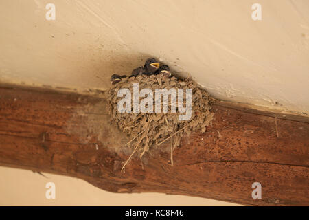 Tiny, baby, Swallow chicks with open mouths (beaks) in nest being fed by parent. - Stock Photo