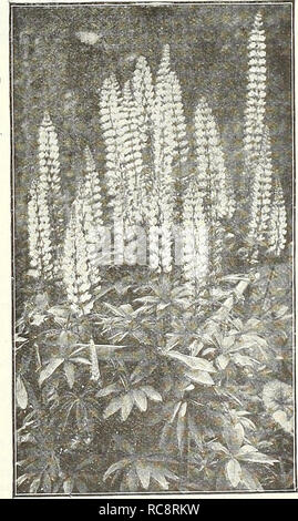 . Dreer's garden book 1922. Seeds Catalogs; Nursery stock Catalogs; Gardening Equipment and supplies Catalogs; Flowers Seeds Catalogs; Vegetables Seeds Catalogs; Fruit Seeds Catalogs. LiATRis. (Offered on page 184) L u €jSm^P$l3 (Campion, Lamp Flower, etc.) All of the Lychnis are of the easiest culture, thriving in any soil, and this, in addition to their brightness, has brought them into high favor with lovers of hardy plants. Chalcedonica {Jerusalem Cross). A most desirable plant, heads of brilliant orange- scarlet in June and July; grows 2 to 3 feet high. Chalcedonica alba. A white-flowered - Stock Photo