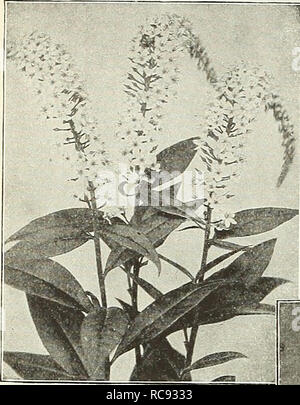 . Dreer's garden book 1931. Seeds Catalogs; Nursery stock Catalogs; Gardening Equipment and supplies Catalogs; Flowers Seeds Catalogs; Vegetables Seeds Catalogs; Fruit Seeds Catalogs. 188 Jil^AgRlKroMJtmMlliJfel^iikte^^. Lysimachia Clethroides Lychnis (Campion, Lamp Flower, etc.) Of the easiest culture, thriving in any soil, and this, in addition to their bright- ness has brought them into high favor with lovers of hardy plants. Chalcedonica {Jerusalem Cross). A most desirable plant, heads of brilliant orange-scarlet in June and July; grows 2 to 3 feet high. —Alba. A white-flowered form of abo - Stock Photo