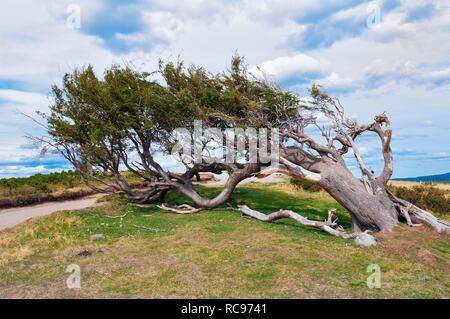 'Arboles Banderas', bent tree, Fireland, Patagonia, Argentina, South America - Stock Photo