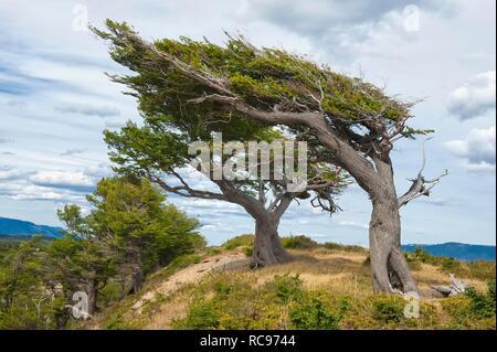 'Arboles Banderas', bent trees, Fireland, Patagonia, Argentina, South America - Stock Photo
