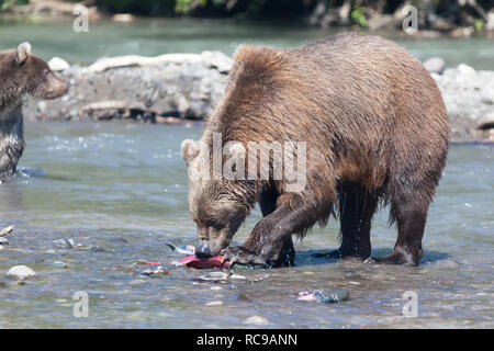 Brown wild  bears fishing in Kuril lake. The bear catches salmon.  Kronotsky nature reserve. Kamchatka. Russia. - Stock Photo