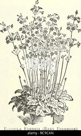 . Dreer's garden book : 1904. Seeds Catalogs; Nursery stock Catalogs; Gardening Equipment and supplies Catalogs; Flowers Seeds Catalogs; Vegetables Seeds Catalogs; Fruit Seeds Catalogs. ^% PRIMULA (Primrose). FkIMLLA V ULGAKIb The charming and beauliful Chinese Fringed Primroses and obconica varieties are indis- / ^ pensable for winter or spring decorations in ^ the home or conservatory. They are one of our most important winter-blooming pot plants. The seed we offer is of the highest ] merit, and has, as usual, been saved from the best strains of English and Conlinental growth. Florists and