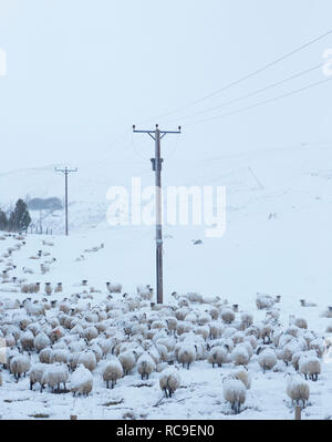 Flock of sheep in winter - Stock Photo