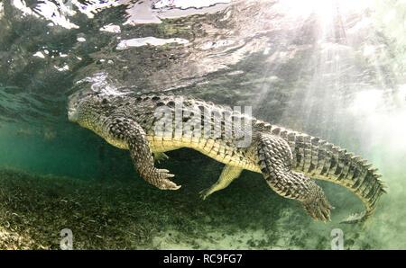 American saltwater crocodile, Xcalak, Quintana Roo, Mexico - Stock Photo