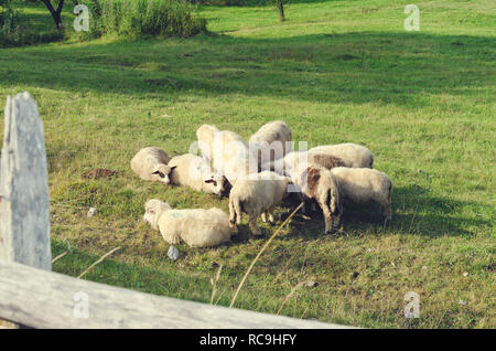Herd of sheep resting on a green sunny meadow in mountain in Albania. Selective focus - Stock Photo