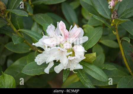Close-up of white rhododendron flower starting to bloom in a garden - Stock Photo