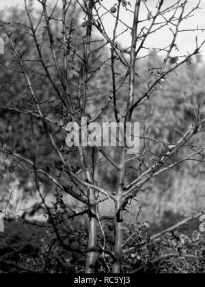 young Apple tree with fallen leaves in autumn, black and white photo - Stock Photo