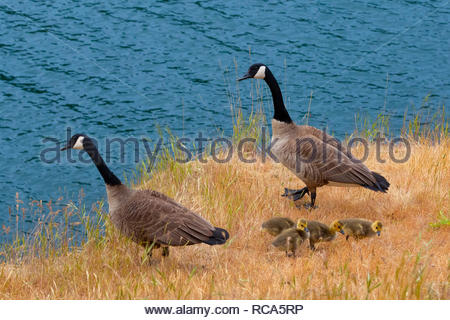 A family of Canada geese (Branta canadensis) — two adults and four goslings — feed on a bluff over the water of Smallpox Bay in San Juan County Park o - Stock Photo