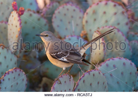 A northern mockingbird (Mimus polyglottos) rests on a prickly pear cactus in Chandler, Arizona. Northern mockingbirds are known for their intelligence - Stock Photo