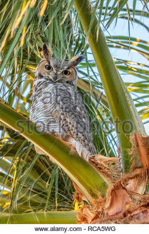 A great horned owl (Bubo virginianus) looks out from its perch high in a palm tree in Chandler, Airzona. The great horned owl is the most widely distr - Stock Photo