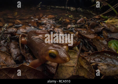 A california newt (Taricha torosa) a poisonous species of salamander found in California walks around the edge of its breeding pond at night. - Stock Photo