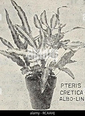 . Dreer's 1907 garden book. Seeds Catalogs; Nursery stock Catalogs; Gardening Equipment and supplies Catalogs; Flowers Seeds Catalogs; Vegetables Seeds Catalogs; Fruit Seeds Catalogs. *^%. '' SELAGINELLA CASSIA ARBOREA. PTERIS CRETICA '':â ..â ALBO-LINEATA' * Lomaria Ciliata. A dwarf Tree Fern. 15 cts. Lygodium Dichotomum. A climbing species, with large, heavy pinnse. 15 cts. â Japonicum. A beautiful Japanese climbing Fern. 15 cts. â Scaudens. A climbing variety with light'green foliage. 15 cts. *Miorolepia Hirta Cristatit. A most useful decorative Fern, beautifully crested. 15 cts. and 25 cts - Stock Photo