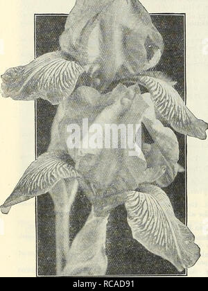 . Dreer's autumn catalogue 1929. Bulbs (Plants) Catalogs; Flowers Seeds Catalogs; Gardening Equipment and supplies Catalogs; Nurseries (Horticulture) Catalogs; Vegetables Seeds Catalogs. 36 /flEnRyABiERj; HARUy PERENNIAL PIANTS >HiLamHfti^ ^. Twelve IRIS GERMANICA Select Exhibition Varieties Iris Germanica The following varieties are the most magnificent newer acquisitions obtained up to the present time. Their colorings and form are superb, they represent the giants of the family both in size of individual flowers and habit of growth. Ambassadeur. One of the finest. The stout stems bear fl - Stock Photo