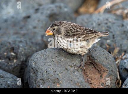 Small Ground Finch (Geospiza fuliginosa), Floreana  Island, Galapagos Islands, Ecuador - Stock Photo