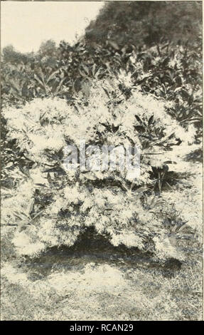 . Ellwanger & Barry : Mount Hope nurseries. GENERAL CATALOGUE. 47 being a tree of fine form, its foliage is of a grapsh green color, glossy and handsome, and in the autumn turns to a deep red, render- ing the tree one of the most showy and beautiful objects at that season. We regard it, all things considered, as one of the most valuable trees for ornamental planting, rank- ing next to the Magnolia among flowering trees, and only second to the Scarlet Oak (which it almost equals) in brilliant foliage in autumn. Si.oo. var flora rubro. Red-flowered Dogwood. B. Recently introduced. A variety  - Stock Photo