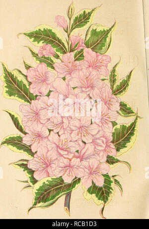 . Ellwanger & Barry's descriptive catalogue of hardy ornamental trees and shrubs, roses, etc., etc., etc. Nursery stock Catalogs; Nurseries (Horticulture)Ornamental trees Catalogs; Shrubs Catalogs; Plants Catalogs. VARIEGATED LEAVED WIEGELA. Engraved and Piinled in Colon by Geo. Feaee^beegee Ezj:re*sly for Ellwakgee & Baeey's Catalogue-. Please note that these images are extracted from scanned page images that may have been digitally enhanced for readability - coloration and appearance of these illustrations may not perfectly resemble the original work.. Mount Hope Nurseries; Ellwanger - Stock Photo