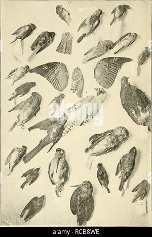 . ... The domestic cat; bird killer, mouser and destroyer of wild life; means of utilizing and controlling it. Cats. PLATE IV.. Some Adult Birds brought in by a Cat or picked up dead. A collection of bird skins in the possession of Miss Cordelia J. Stanwood. Some of these birds were not killed by the cat, but the young birds killed by her were not preserved. See page 30. (Photograph by courtesy of Miss Stanwood ). Please note that these images are extracted from scanned page images that may have been digitally enhanced for readability - coloration and appearance of these illustrations may not  - Stock Photo