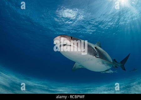 A pregnant tiger shark cruising over the sand