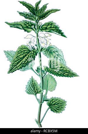 White deadnettle (Lamium album), medicinal plant, historical chromolithography, 1870 - Stock Photo