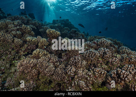 An early morning dive on a tropical reef is always something special. Sunrays dancing on the surface cast the coral in an eerie light as a large Napol - Stock Photo