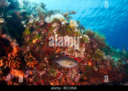 Damselfish (Chromis chromis) hidding in the underwater reef full of false coral in Ses Salines Natural Park (Formentera, Balearic islands, Spain) - Stock Photo