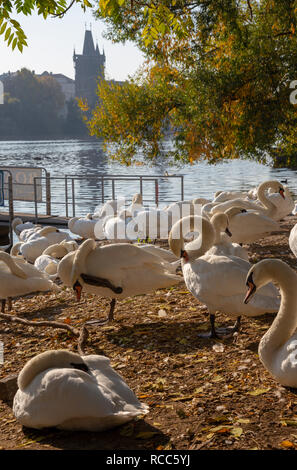 Prague - The Charles bridge and the swans on the Vltava river. - Stock Photo