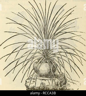 """. Dreer's 1900 special December wholesale price-list of new crop flower seeds and decorative plants for Christmas sales. Bulbs (Plants) Catalogs; Flowers Seeds Catalogs; Nurseries (Horticulture) Catalogs. DiAKTBUS DOUBLB HjSDUKWIGII Tr. pkt. <)/.. Dianthus Double, Chinensis, mi.xed .... 10 20 """" Heddewigii, mixed .... """" """" Mourning Cloak """" Snowball """" diadematus mixed .... """" laciniatus """" .... """" Imperialis """" .... """" '' """"Fireball"""" . Single, Heddewigii mixed .... """" """" Crimson Belle . """" """" Eastern Queen . """" laciniatu - Stock Photo"""