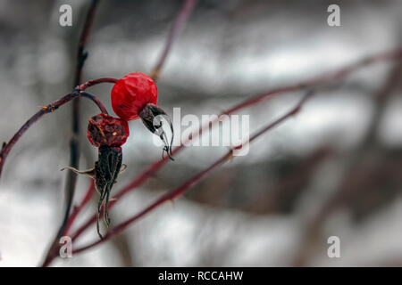 dried rosehip berries in winter against a blurry background close-up - Stock Photo