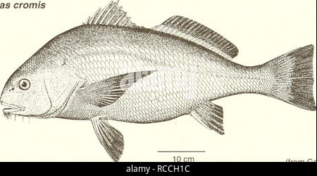 . Distribution and abundance of fishes and invertebrates in Gulf of Mexico estuaries. Fishes -- Mexico, Gulf of; Estuaries -- Mexico, Gulf of. Black drum Pogonias cromis Adult. 10 cm (from Goode 1884) Common Name: black drum Scientific Name: Pogonias cromis Other Common Names: sea drum, gray drum, oyster cracker, drum fish, striped drum, puppy drum, butterfly drum (Sutter et al. 1986); grand tambour (French), tambor,corvinon negro (Spanish) (Fischer 1978, NOAA 1985). Classification (Robins et al. 1991) Phylum: Chordata Class: Osteichthyes Order: Perciformes Family: Sciaenidae Value Commercial: - Stock Photo