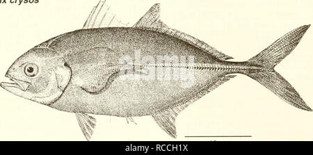 . Distribution and abundance of fishes and invertebrates in Gulf of Mexico estuaries. Fishes -- Mexico, Gulf of; Estuaries -- Mexico, Gulf of. Caranx crysos Adult. 10 cm (from Goode 1884) Common Name: blue runner Scientific Name: Caranx crysos Other Common Names: jager boca, bau, deep water cavaly (McKenney et. al. 1958); carangue coubal (French), cojinuda negra (Spanish) (Fischer 1978, NOAA1985). Classification (Robins et al. 1991) Phylum: Chordata Class: Osteichthyes Order: Perciformes Family: Carangidae Value Commercial: The blue runner is one of the most com- mercially important species of - Stock Photo