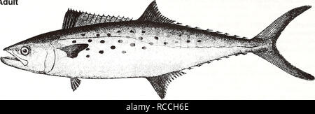 . Distribution and abundance of fishes and invertebrates in Gulf of Mexico estuaries / project team, David M. Nelson (editor) ... [et al.]. Fishes Mexico, Gulf of.. Spanish mackerel Scornberomorus maculatus Adult. 10 cm (from Goode 1884) Common Name: Spanish mackerel Scientific Name: Scomberomorus maculatus Other Common Names: mackerel, horse mackerel, bay mackerel, spotted mackerel, Spaniard, spotted cybium (Earll 1883, Pew 1966); thazard tachete (French); caritepintado, sierra (Spanish) (Fischer 1978, NOAA1985). Classification (Robins et al. 1991) Phylum: Chordata Class: Osteichthyes Order:  - Stock Photo