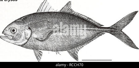 . Distribution and abundance of fishes and invertebrates in Gulf of Mexico estuaries / project team, David M. Nelson (editor) ... [et al.]. Fishes Mexico, Gulf of.. Blue runner Caranx crysos Adult. 10 cm (from Goode 1884) Common Name: blue runner Scientific Name: Caranx crysos Other Common Names: jager boca, bau, deep water cavaly (McKenney et. al. 1958); carangue coubal (French), cojinuda negra (Spanish) (Fischer 1978, NOAA1985). Classification (Robins et al. 1991) Phylum: Chordata Class: Osteichthyes Order: Perciformes Family: Carangidae Value Commercial: The blue runner is one of the most c - Stock Photo