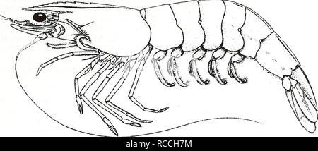 from Perez-Farfante 1969) Common Name: white shrimp