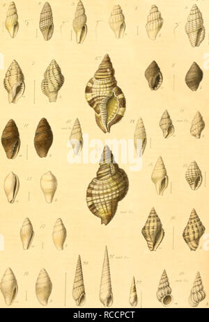 . Donum Bismarckianum. Eine sammlung von Südsee-conchylien. Shells; Mollusks. 7«//. Please note that these images are extracted from scanned page images that may have been digitally enhanced for readability - coloration and appearance of these illustrations may not perfectly resemble the original work.. Martens, Eduard von, 1831-1904; Langkavel, Bernhard August, 1825-1902. Berlin, F. Berggold - Stock Photo