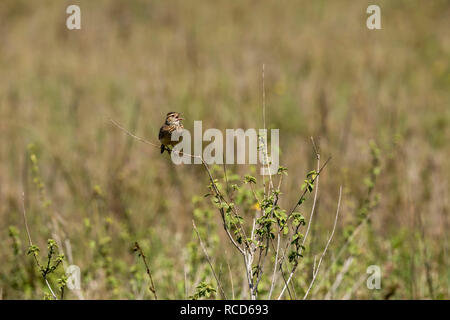 Rufous-naped Lark (Mirafra africana) perched on a branch calling in Serengeti National Park, Tanzania - Stock Photo