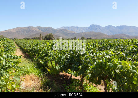 Wine farm in the Breede River or Robertson Wine Valley, Route 62,  Western Cape Winelands, South Africa, view over vineyards to Langeberg Mountains - Stock Photo