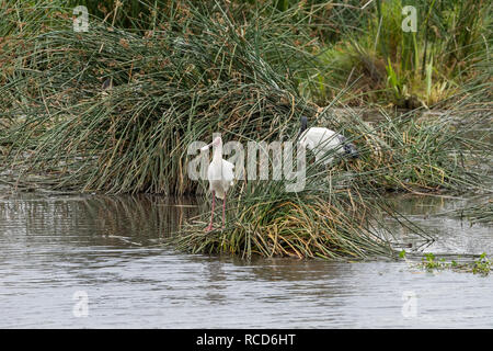 African Spoonbill (Platalea alba) looking for a meal by a hippo pool in Ngorongoro Crater, Tanzania - Stock Photo