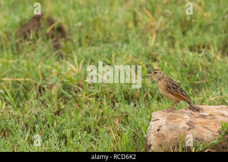 Rufous-naped Lark (Mirafra Africana) perched on a rock in Ngorongoro Crater, Tanzania - Stock Photo