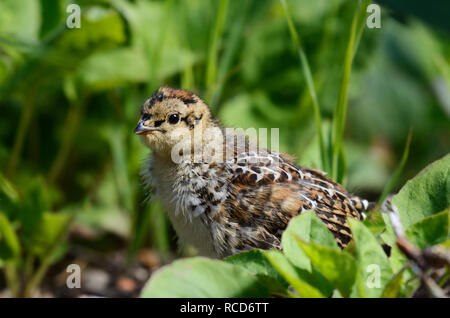 Spruce grouse chick in a conifer forest. Kootenai National Forest in the Purcell Mountians, northwest Montana. - Stock Photo