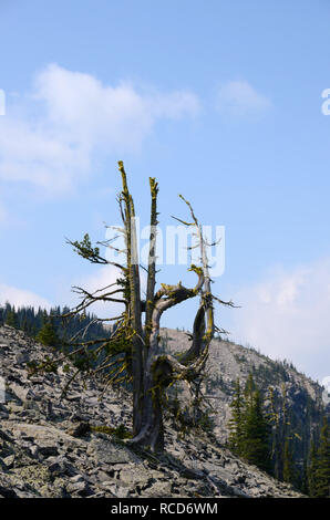 An ancient whitebark pine growing in a talus slope below the summit of Mount Henry in summer. Kootenai National Forest, MT. (Photo by Randy Beacham)