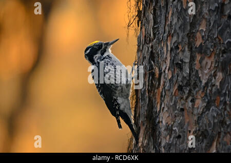American three-toed woodpecker feeding on a western larch during fall in the Wood Creek Larch Scenic Area. Yaak Valley in the Purcell Mountains, north - Stock Photo