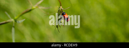 insect leaf beetle sitting on a leaf of a plant in a meadow. Spring season. Short-horned Leaf Beetle. Banner for design. - Stock Photo