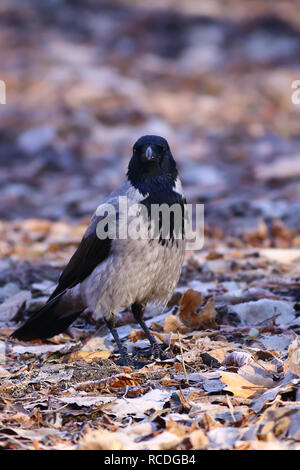 Hooded crow (Corvus cornix), perched on the ground covered with frost in the morning in a park - Stock Photo