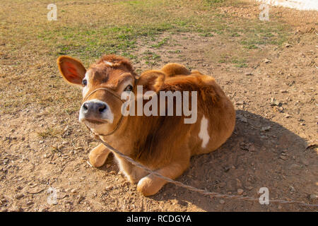 Cow calf setting outside the stall and looking toward the camera - Stock Photo