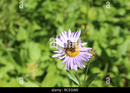 Beautiful Flying Insect on Alberta Wild Flower - Stock Photo