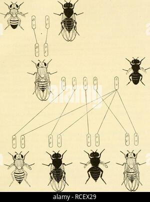 . Die Stoffliche Grundlage der Vererbung. Heredity. Crossing-over 69 Wird z B eine weibliche Fliege mit gelben Flügeln und weißen Augen gekreuzt mit einer Fliege mit grauen Flügeln und roten Augen (wilder. Fig 37. Rückkreuzung eines F,-Weibchens aus der Kreuzung grau-stummelflügelig X schwarz-normalflügelig mit einem schwarzen stummelflügehgen Mannchen. Typus), so haben die F^-Weibchen graue Flügel und rote Augen. Wird das F,-Weibchen rückgekreuzt mit einem Männchen mit gelben Flugein und weißen Augen, so entstehen vier Klassen von Nachkommen in folgendem Verhältnis:. Please note that these im - Stock Photo