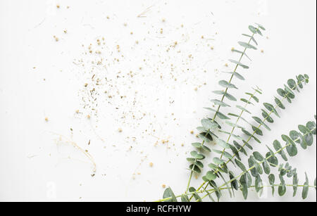 Baby eucalyptus branch on white table background - Stock Photo