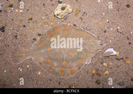 Scholle, Goldbutt, Pleuronectes platessa, European plaice, Plaice, La Plie d'Europe, La plie commune, Plattfisch, Plattfische, flatfish, flatfishes - Stock Photo